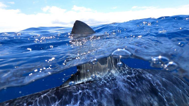 Blue shark dorsal fin