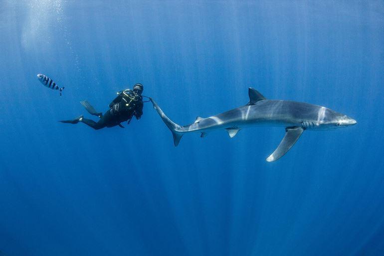 Blue shark and divemaster Mona Schouten
