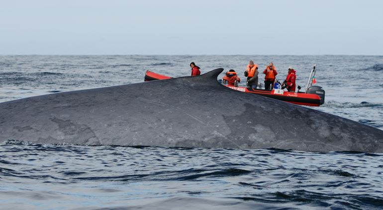 The sheer size of a Blue whale is nothing short of mind blowing