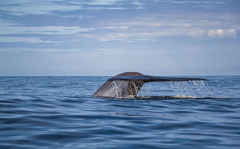 Blue whale in calm seas