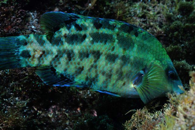 The endemic Blue wrasse (Centrolabrus caeruleus) - photo by Justin Hart.