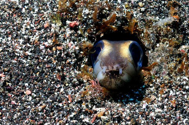 Black-spot conger eel