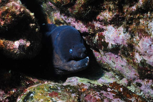Brown moray