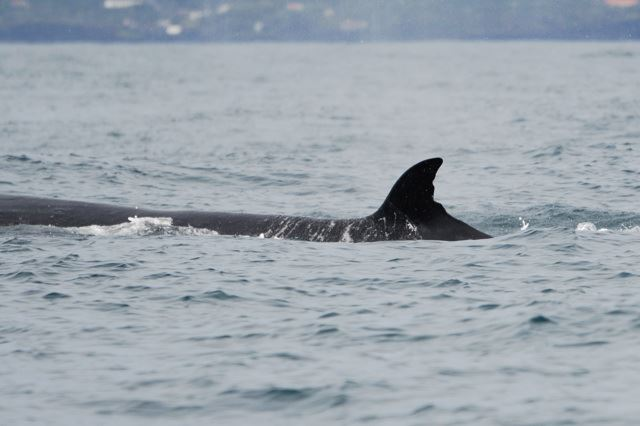 Erect, with quite straight trailing edge Sei whale dorsal fin example 2