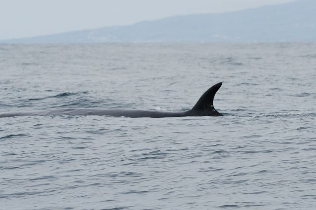Example 3: Very tall and pointy Sei whale dorsal fin example 3