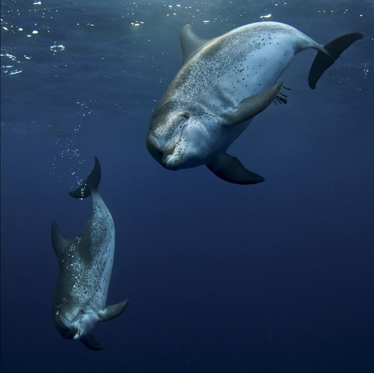 Atlantic spotted dolphins - one of the species we can snorkel with