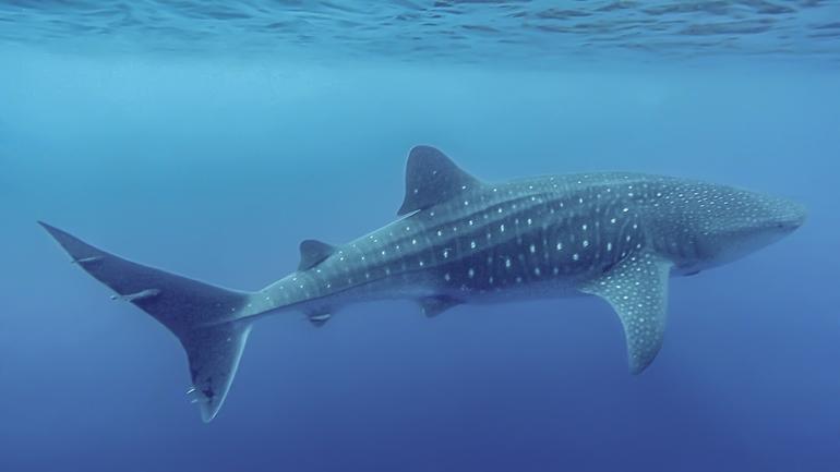 Whale shark off Pico Island in September 2020 - Photo by Martijn Schouten
