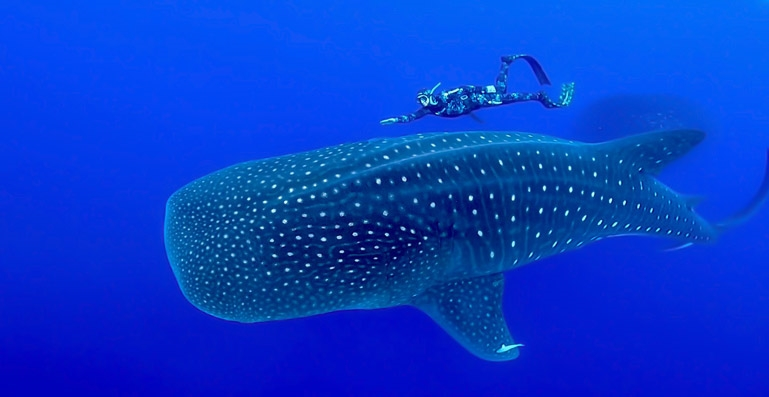 Whale shark and free diver - Photo by Ricardo Ventura